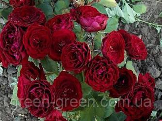 Роза спрей Tamango