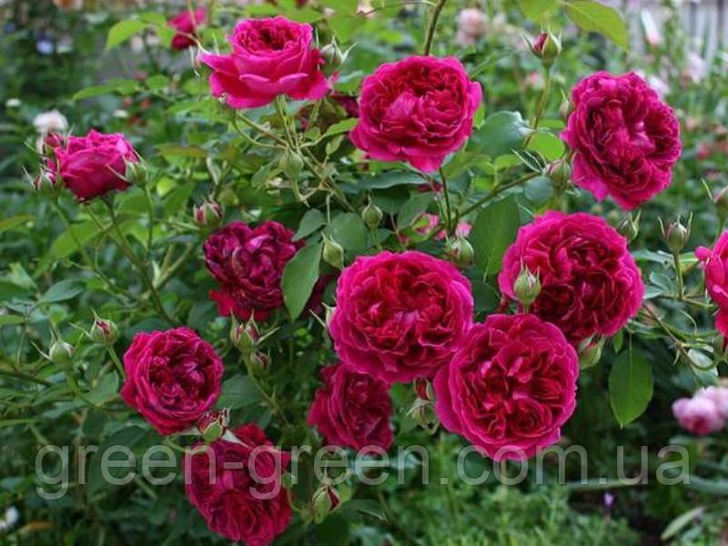 Роза романтическая Shakespeare, саженец