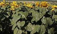 Семена подсолнечника Ясон под классическую обработку грунта