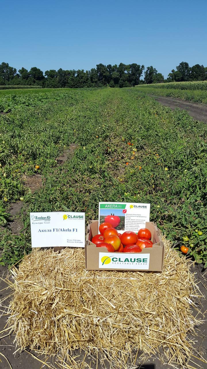 Насіння томату Акела F1 \ Akela F1 1000 насінин Clause