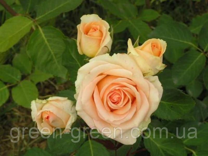 Роза ч/г Versiliia