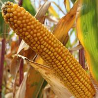 Семена кукурузы Заатбау Лопино ФАО 240