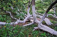 Дерево жизни – Яблоня-колония в Украине