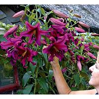 Лилия гигант Purple prince