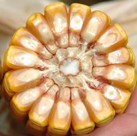 Семена кукурузы Заатбау Багато ФАО 270