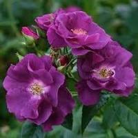 Троянда паркова Рапсоді ін Блю Rhapsody in Blue Shrub 1-річний вегетуючий саджанець, фото 1