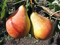 Бере Жифар - груша летняя (ранняя)