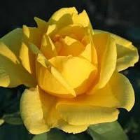Троянда Golden Medallion Голден Медальйон чайно-гібридна 1-річний вегетуючий саджанець, фото 1