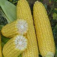 Кукуруза сахарная Анита F1, 50г