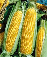 Кукуруза сахарная Авицена F1, 50г