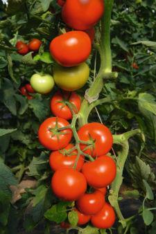 Семена помидора Тойво F1 1000 семян индетерминантный