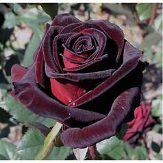 Саженцы розы Блек Баккара (Black Baccara)