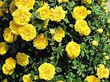 Роза парковая Консуэлла (Konsuella), фото 2