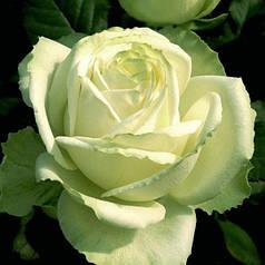Роза чайно-гибридная Маруся (Marusia)