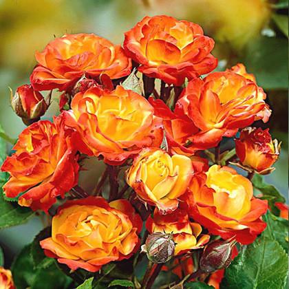 Роза патио Румба (Rumba)