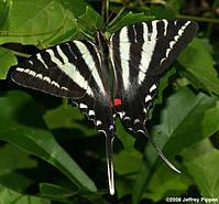 ОДИН ИЗ НЕМНОГОЧИСЛЕННЫХ ВРЕДИТЕЛЕЙ АЗИМИНЫ Zebra Swallowteil