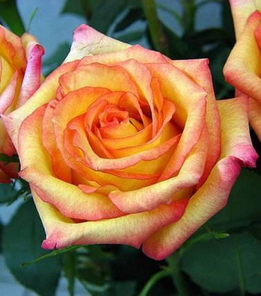 Роза чайно-гибридная Конфетти (Confetti), фото 2