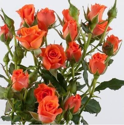 Саженец розы спрей Алегрия (Alegria), фото 2