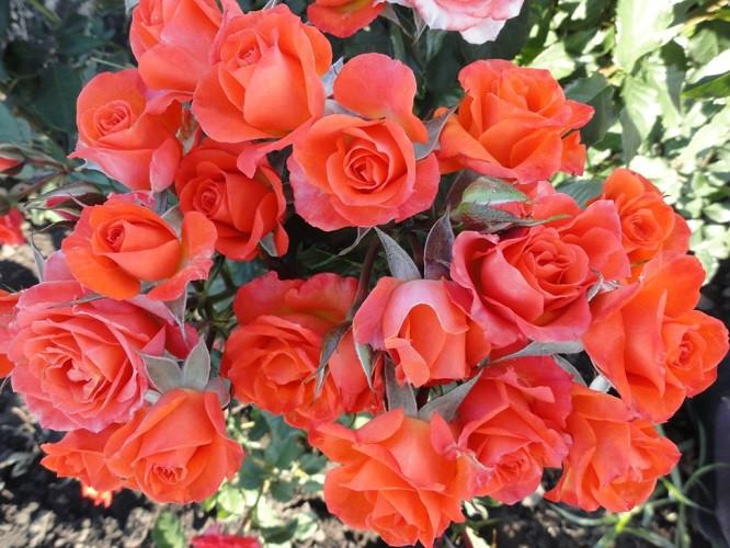 Роза спрей Алегрия (Alegria)