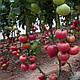 Насіння томату Пінк Кристал F1 \ Pink Kristal 250 насінин, фото 2