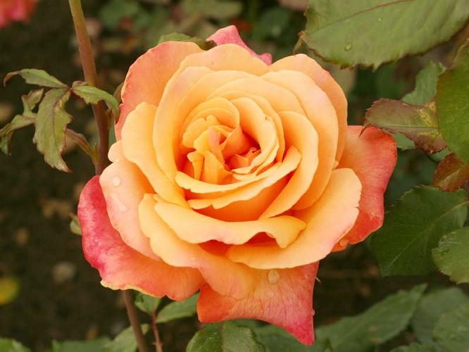 Саженцы розы флорибунда Лолита (Lolita)