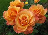 Саженцы розы флорибунда Лолита (Lolita), фото 2