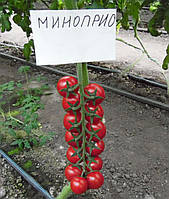 Семена томата Миноприо F1 \ Minoprio F1 250 семян Clause