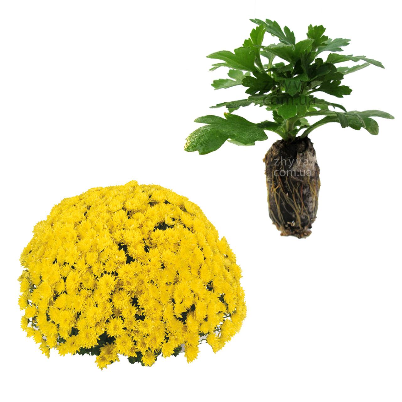 Саджанці Хризантема рассада Multiflora Avalon Yellown касета (100шт)