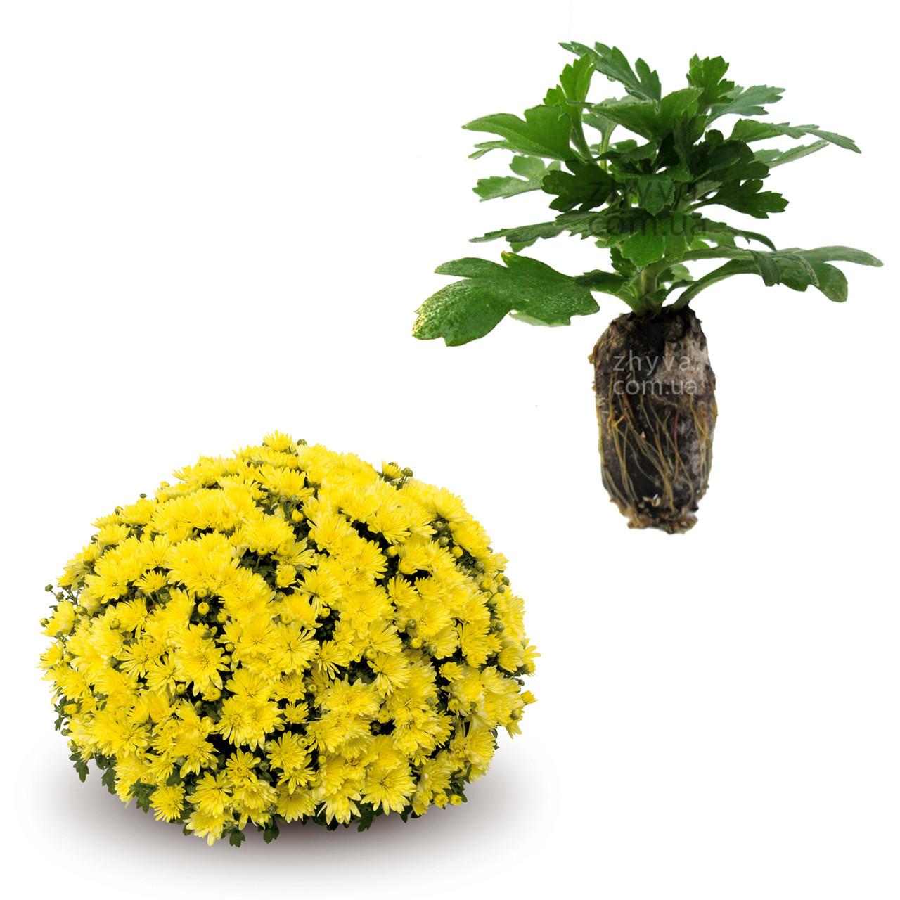 "Саджанці Хризантема Multiflora ""Aluga Yellow'' 1шт / Рассада Хризантема Multiflora ""Aluga Yellow''"