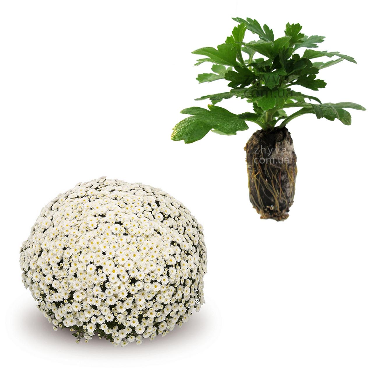 "Саджанці Хризантема Multiflora ""Staviski White'' 1шт / Рассада  Хризантема Multiflora ""Staviski White''"