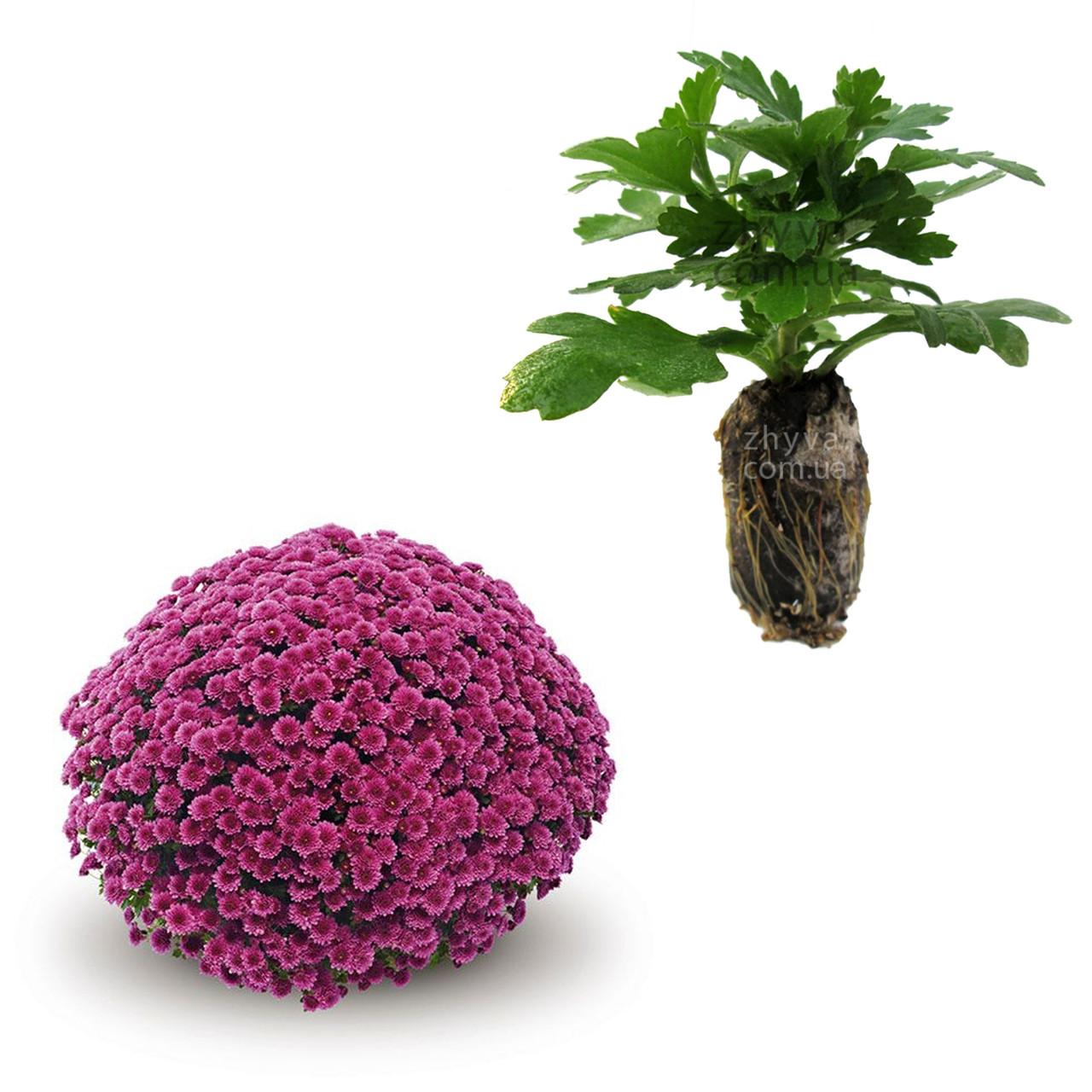 "Саджанці Хризантема Multiflora ""Jasoda Mauve'' 1шт / Рассада Хризантема Multiflora ""Jasoda Mauve''"