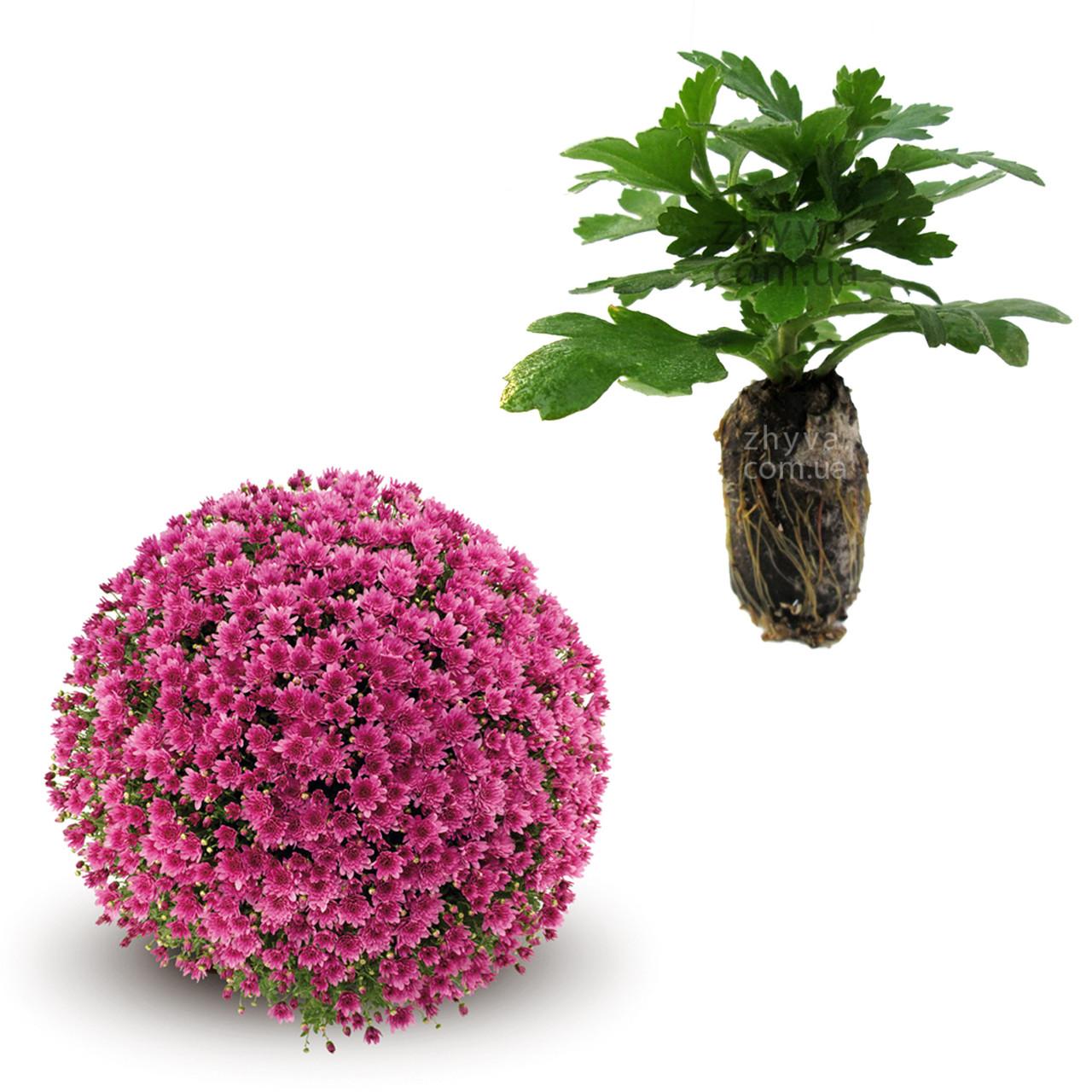 "Саджанці Хризантема Multiflora ""Proxima Violet'' 1шт / Рассада Хризантема Multiflora ""Proxima Violet''"