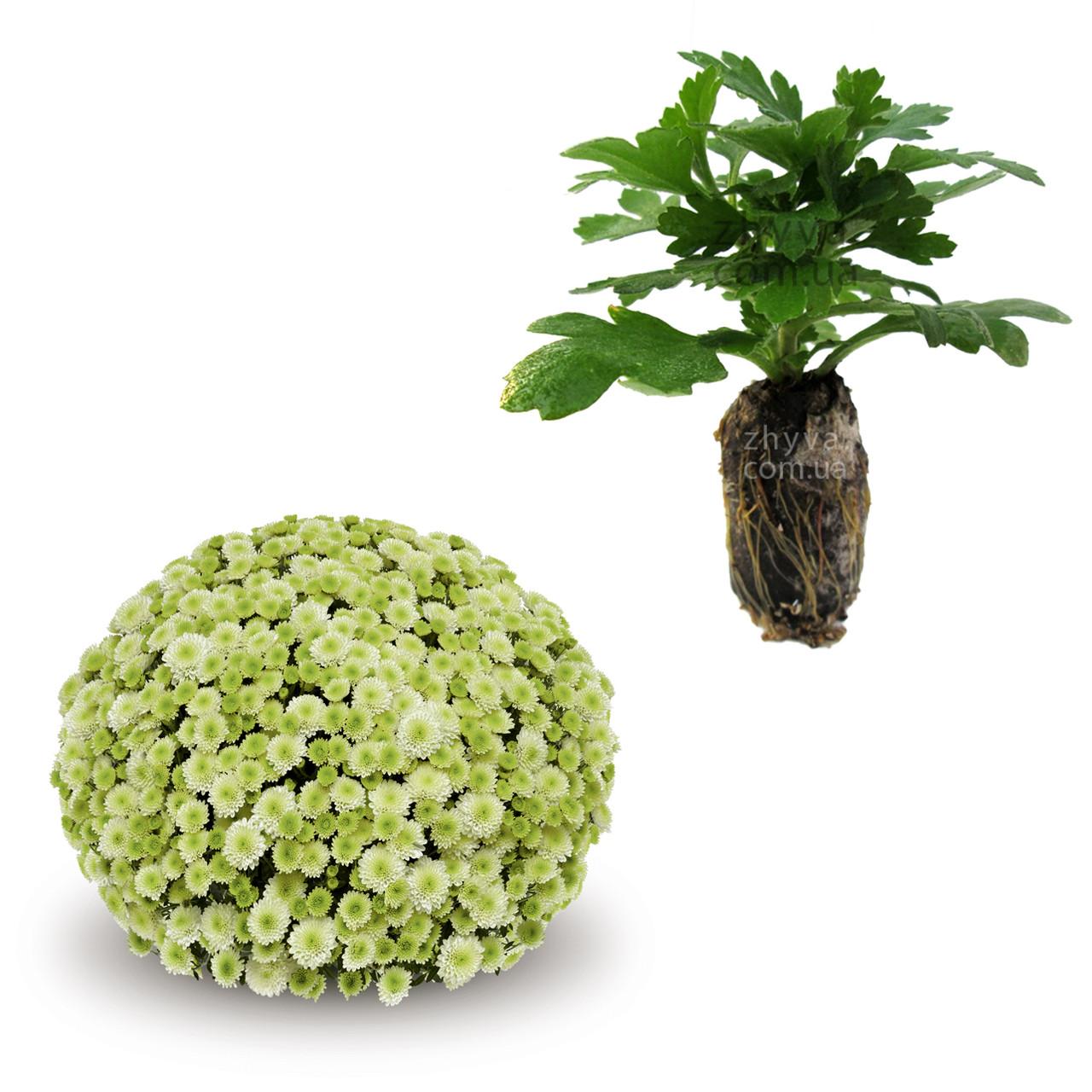 Саджанці Хризантема рассада Multiflora Primo Pistache касета (100шт)