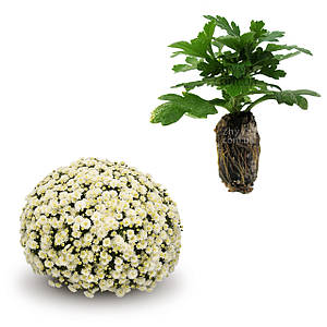 Саджанці Хризантема рассада Multiflora Jasoda Whitе касета (100шт)