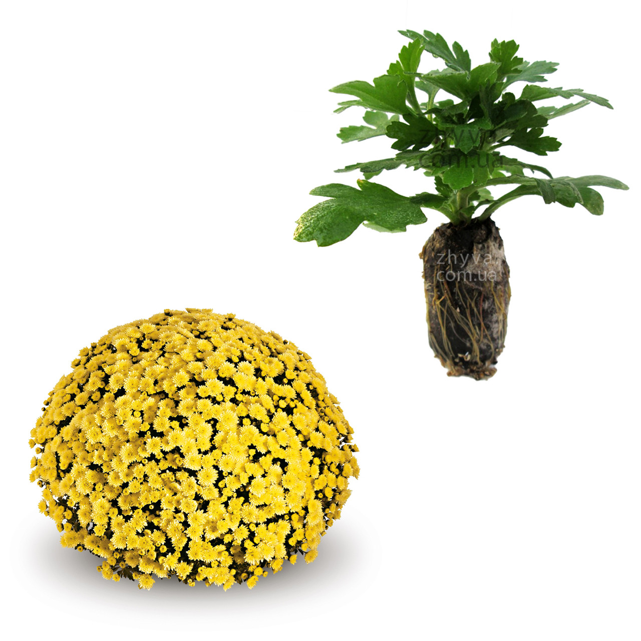 "Саджанці Хризантема Multiflora ""Jasoda Dark Yellow'' 1шт / Рассада Хризантема ""Jasoda Dark Yellow''"
