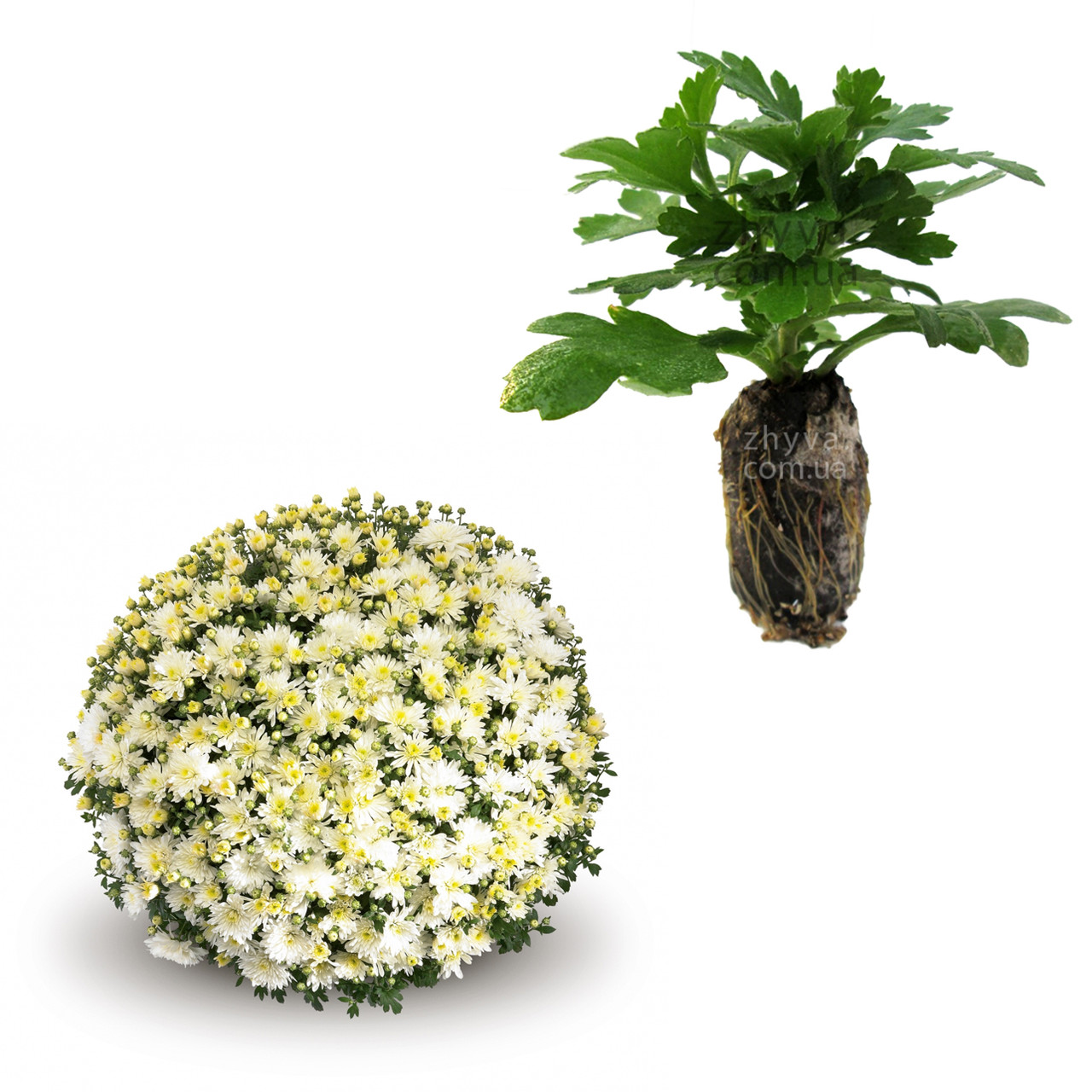 "Саджанці Хризантема Multiflora ""Aluga White'' 1шт /Рассада Хризантема Multiflora ""Aluga White''"