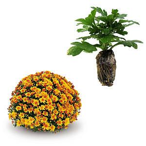Саджанці Хризантема рассада Multiflora Conaco Gold касета (100шт)