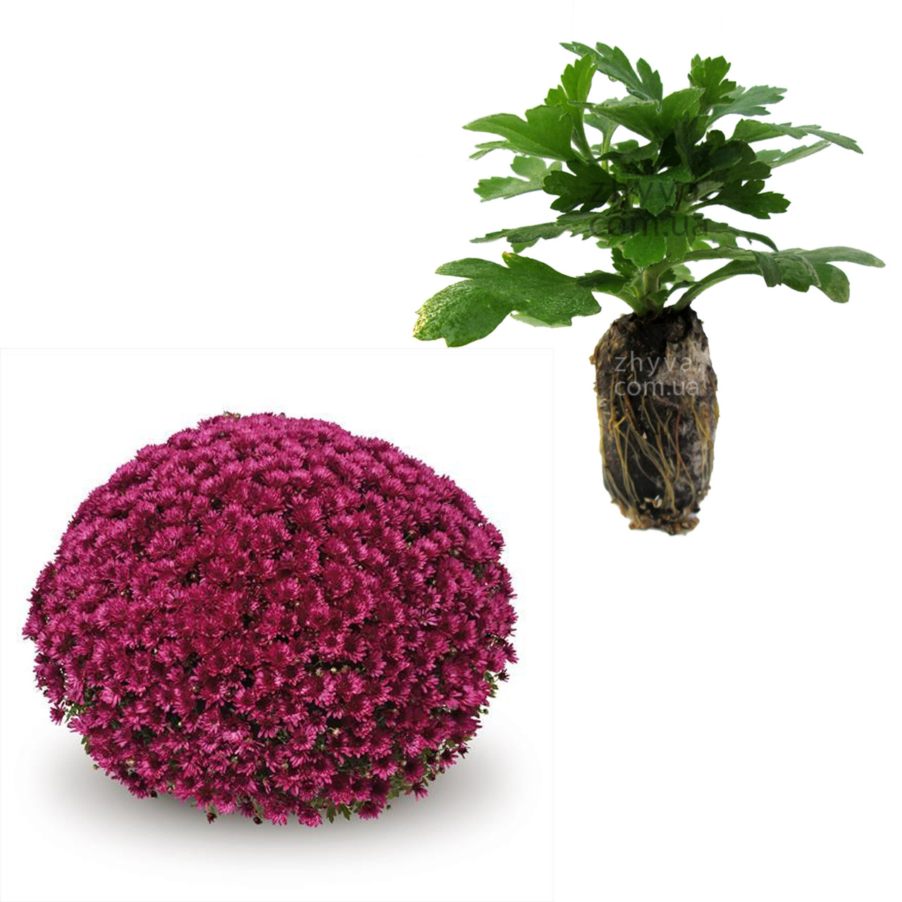"Саджанці Хризантема Multiflora ""Cabalero Violet'' 1шт / Рассада Хризантема Multiflora ""Cabalero Violet''"