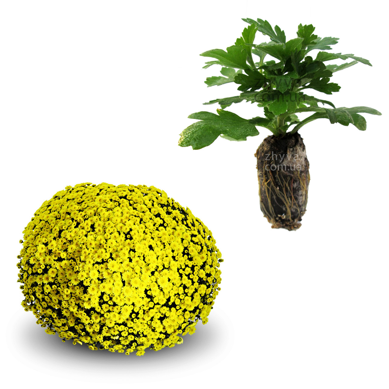"Саджанці Хризантема Multiflora ""Staviski Yellow'' 1шт / Рассада Хризантема Multiflora ""Staviski Yellow''"