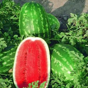 Семена арбуза Думара F1 (Nunhems/ АГРОПАК+) 100 сем - средне-ранний (75 дн), удлиненно-овальный, вес 12-16 кг, фото 2