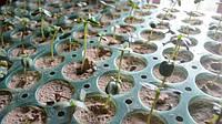 Проверка на всхожесть семена подсолнечника Лимит
