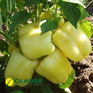 Семена перца Никита F1 (Clause) 5 г — ранний (70 дней), кубовидный, красный, сладкий, фото 2