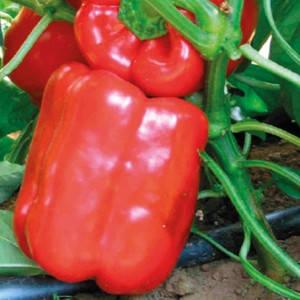 Семена перца Геркулес F1 (Clause/АГРОПАК+) 100 сем — среднеранний (70-75 дней), кубовидный, красный, сладкий, фото 2