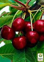"""Вишня """"Чудо вишня"""" (Черевишня) гибрид черешня+вишня (летний сорт, ранний срок созревания)"""