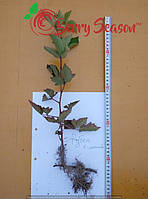 Ремонтантная  Rubus fruticosus  Reuben
