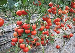 Семена томата Пьетро F1 \ Pietro F1 1000 семян Clause