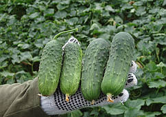 Семена огурца Регал F1 \ Regal F1 100 грамм Clause