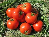 Насіння томату Бехрам F1  500н. Enza Zaden
