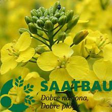 Семена рапса сорт Герди селекция Saatbau