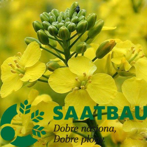 Семена рапса сорт Труди селекция Saatbau
